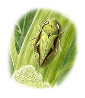nz-ento-soc-insect-playing-cards_spittlebug