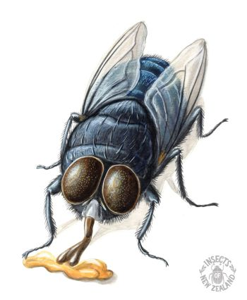 REDUCED NZ-Ento-Soc-Insect-Playing-Cards_Blue-blowfly