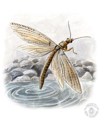 REDUCED NZ-Ento-Soc-Insect-Playing-Cards_Dobsonfly