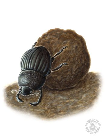 REDUCED NZ-Ento-Soc-Insect-Playing-Cards_Dung-Beetle