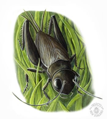REDUCED NZ-Ento-Soc-Insect-Playing-Cards_Field-cricket