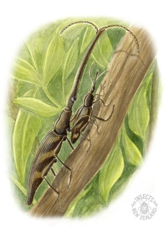 REDUCED NZ-Ento-Soc-Insect-Playing-Cards_Giraffe-Weevil