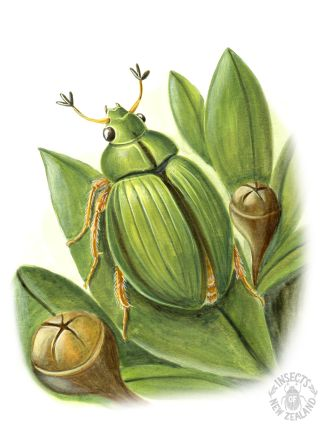 REDUCED NZ-Ento-Soc-Insect-Playing-Cards_Manuka-beetle