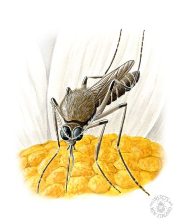 REDUCED NZ-Ento-Soc-Insect-Playing-Cards_mosquito