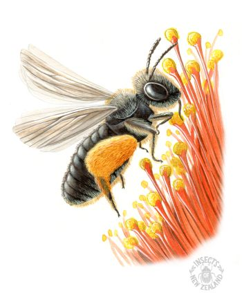 REDUCED NZ-Ento-Soc-Insect-Playing-Cards_Native-Bee