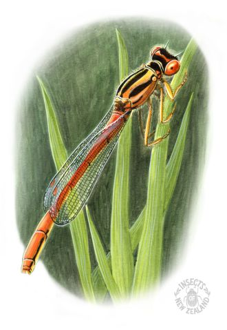 REDUCED NZ-Ento-Soc-Insect-Playing-Cards_Red-damelfly
