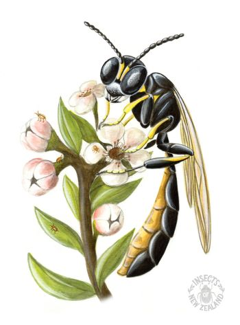 REDUCED NZ-Ento-Soc-Insect-Playing-Cards_Rhopalum