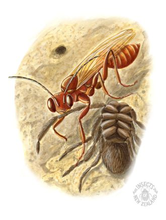 REDUCED NZ-Ento-Soc-Insect-Playing-Cards_Spider-wasp