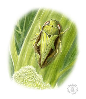 REDUCED NZ-Ento-Soc-Insect-Playing-Cards_spittlebug