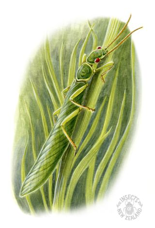 REDUCED NZ-Ento-Soc-Insect-Playing-Cards_Stone-fly