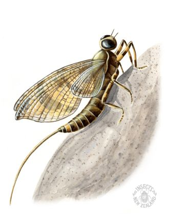 REDUCED NZ-Ento-Soc-Insect-Playing-Cards_Swimming-mayfly
