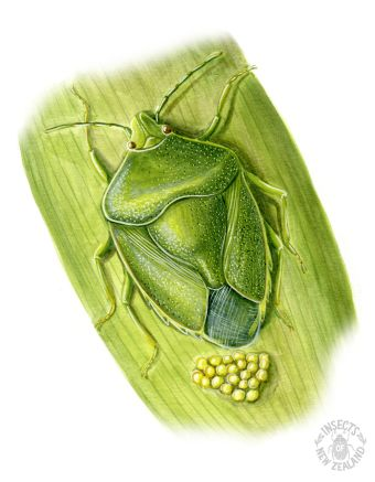 REDUCED NZ-Ento-Soc-Insect-Playing-Cards_Vegetable-Bug