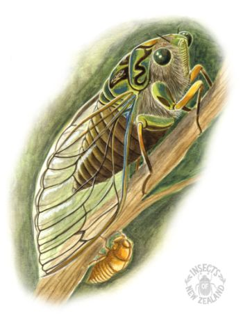 REDUCED_NZ-Ento-Soc-Insect-Playing-Cards_Chorus-Cicada RED