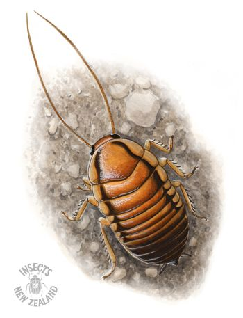 REDUCED_NZ-Ento-Soc-Insect-Playing-Cards_Cockroach2 RED