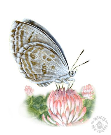REDUCED_NZ-Ento-Soc-Insect-Playing-Cards_Common-Blue-Butterfly RED