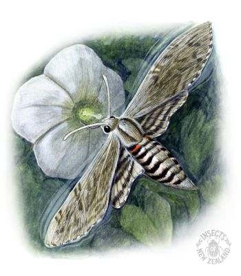 REDUCED_NZ-Ento-Soc-Insect-Playing-Cards_Hawk-Moth RED