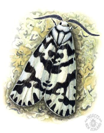 REDUCED_NZ-Ento-Soc-Insect-Playing-Cards_Lichen-Moth RED