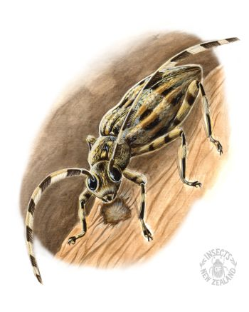 REDUCED_NZ-Ento-Soc-Insect-Playing-Cards_Squeaking-Longhorn RED