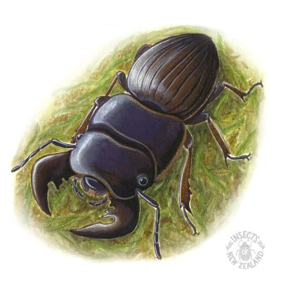 REDUCED_NZ-Ento-Soc-Insect-Playing-Cards_Stag-Beetle RED
