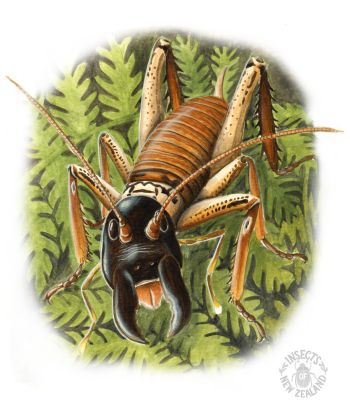 REDUCED_NZ-Ento-Soc-Insect-Playing-Cards_Tree-Weta RED