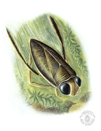 REDUCED_NZ-Ento-Soc-Insect-Playing-Cards_Water-Boatman RED