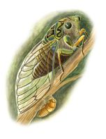 thumbnail chorus cicada