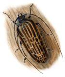 thumbnail huhu beetle