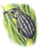 thumbnail knobbed weevil