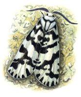 thumbnail Lichen Moth