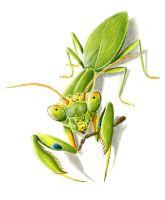 thumbnail praying-mantis