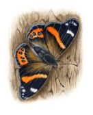 thumbnail red admiral
